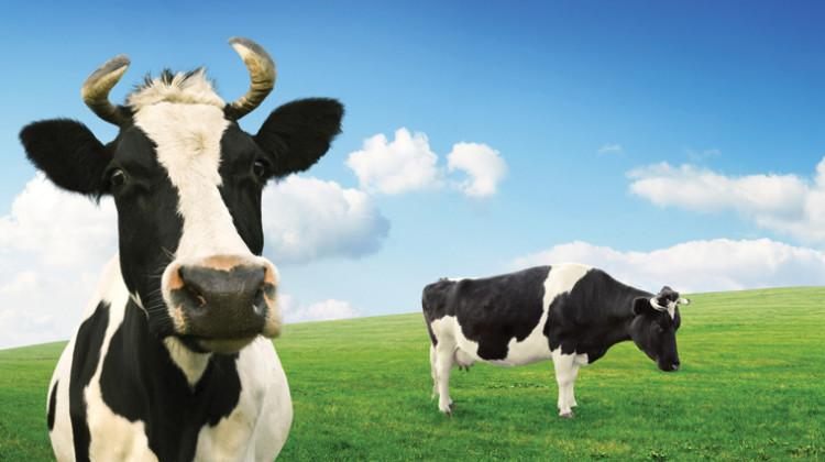 cow-field-lactose-intolerant