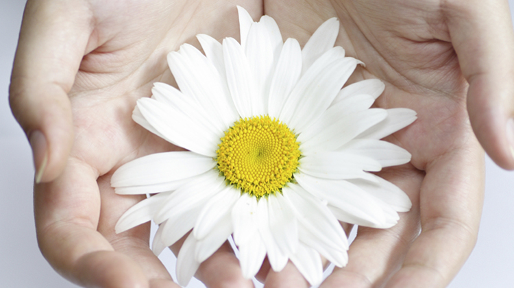 Beautiful white daisy in a palms